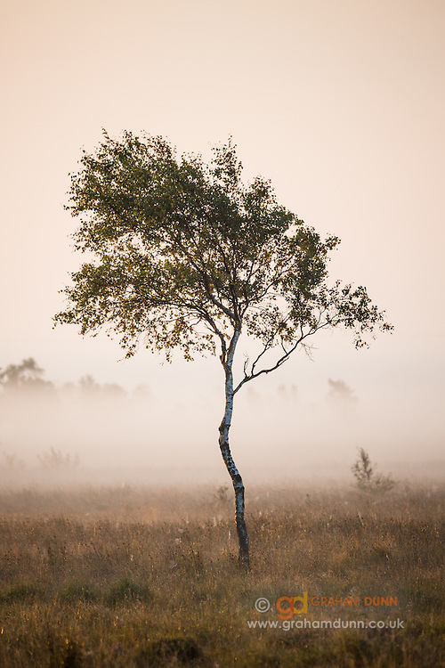 Early morning mist separates this lone silver birch tree from the background on Leash Fen in the Peak District. Derbyshire, England, UK.