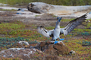 North Seymour Island in the Galapagos National Park, Galapagos, Ecuador, South America. A blue footed booby performing a mating display.