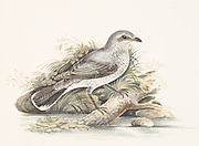 Black-backed cuckooshrike (Lalage melanoptera syn Coracina melanoptera) is a species of cuckooshrike found in the Indian Subcontinent and Southeast Asia. 18th century watercolor painting by Elizabeth Gwillim. Lady Elizabeth Symonds Gwillim (21 April 1763 – 21 December 1807) was an artist married to Sir Henry Gwillim, Puisne Judge at the Madras high court until 1808. Lady Gwillim painted a series of about 200 watercolours of Indian birds. Produced about 20 years before John James Audubon, her work has been acclaimed for its accuracy and natural postures as they were drawn from observations of the birds in life. She also painted fishes and flowers. McGill University Library and Archives