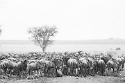 Wildebeest at the start of their migration, Serengeti National Park, Tanzania.