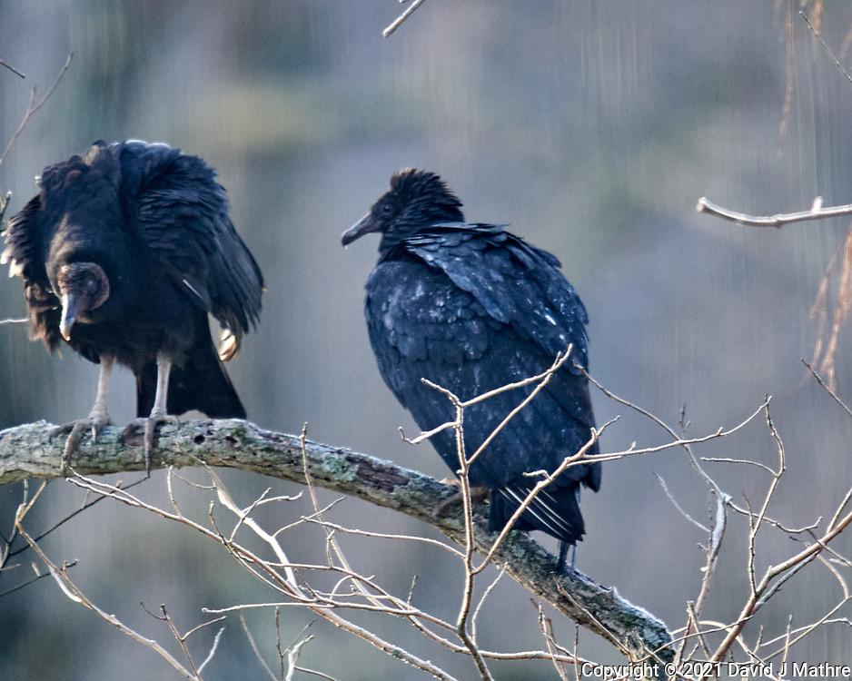 Black Vulture (Coragyps atratus). Image taken with a Nikon D850 camera and 600 mm f/4 VR lens