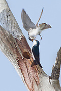 Two Tree Swallows fighting over the use of a hole in a tree to use as a nest.(Tachycineta bicolor).Bolsa Chica Wetlands,California