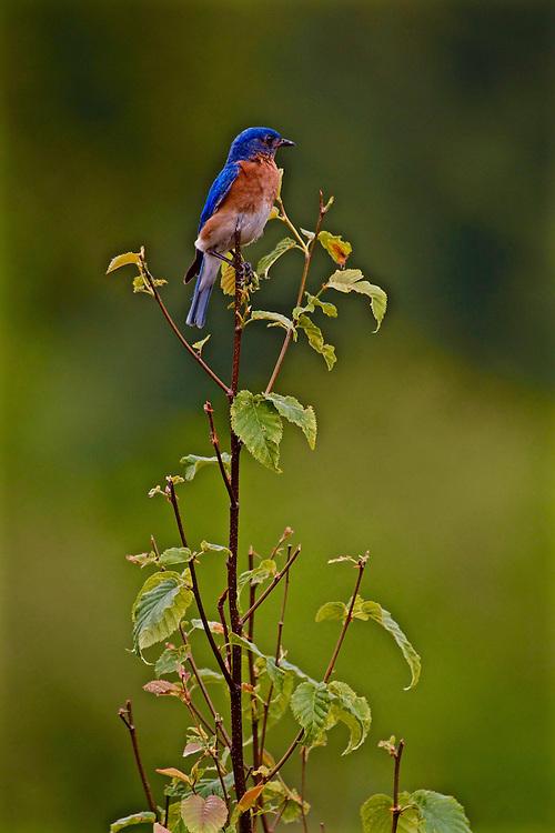 Northcentral Pennsylvania, Bluebird, Winslow Overlook, Benezette, Elk County