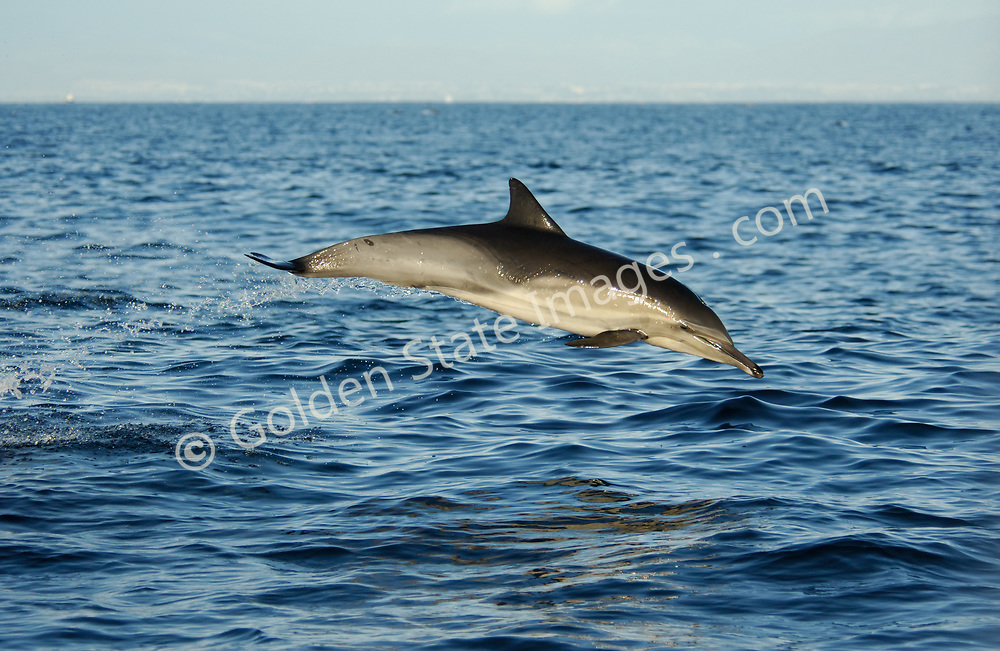 Abundant dolphin often found in large groups. Habitat is offshore waters along continental shelfs.  <br /> <br /> Off San Diego in the summer they are often seen in association with Yellowfin Tuna.  <br /> <br /> They are considered a medium sized dolphin with individuals ranging to about seven feet in length.<br /> <br /> Range: Newfoundland to South America - British Columbia to equator    <br /> <br /> Species: Delphinus delphis