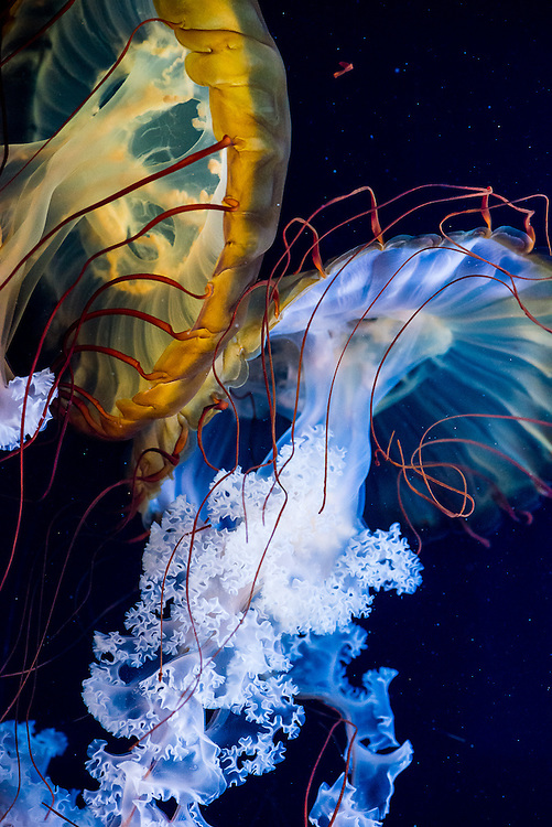 Two jellyfish bump in the aquarium in the botanical park in Albuquerque, New Mexico