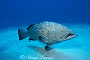 black grouper, Mycteroperca bonaci, <br /> black moustache on one side of mouth only may be <br /> courtship color pattern,<br /> Bahamas ( Western Atlantic Ocean )
