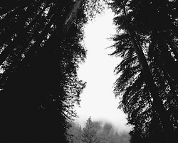 Trees in the redwood forest