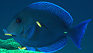 Blue Tang (Acanthurus coeruleus).  This fish had pulled into a cleaning station to have ectoparasites picked off by cleaning gobies.  Florida Keys