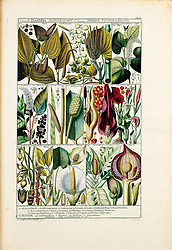 Tabulae phytographicae,<br /> Turici,Impensis J.H. Fuessli,1795-1804.<br /> https://biodiversitylibrary.org/page/58012429
