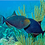Black Durgon inhabit outer reefs, often in small aggregations in Tropical West Atlantic; picture taken Little Cayman.