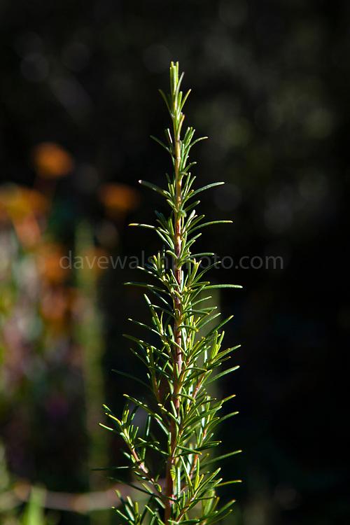 Wild rosemary plant on the mountain of Montserrat, near Barcelona, Catalonia, Spain