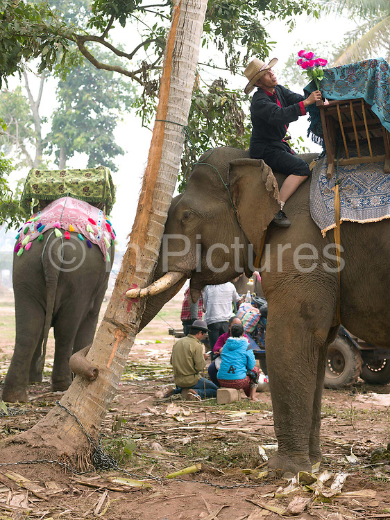 A mahout (handler) decorates a male Asian elephant ready for the parade at the annual Sayaboury elephant festival, Sayaboury province, Lao PDR. The Elephant Festival is designed to draw the public's attention to the condition of the endangered elephant, whilst acknowledging and celebrating the ancestral tradition of elephant domestication and the way of life chosen by the mahout. Originally created by ElefantAsia in 2007, the 3-day elephant festival takes place in February in the province of Sayaboury with over 80,000 local and international people coming together to experience the grand procession of decorated elephants. Laos was once known as the land of a million elephants but now there are fewer than 900 living in the country. Around 470 of them are in captivity, traditionally employed by a lucrative logging industry. Elephants are trained and worked by a mahout (handler) whose relationship to the animal is often described as a marriage and can last a lifetime. But captive elephants are often overworked and exhausted and as a consequence no longer breed. With only two elephants born for every ten that die, the Asian elephant, the sacred national emblem of Laos, is under serious threat of extinction.