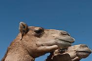 = camel market  Doha  QATAR   /// marché aux chameaux  Doha  QATAR +