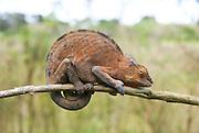 Madagascar, Ankify Peninsula Chamaeleon clings to a branch