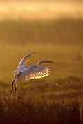 Great Egret landing in swamp at sunrise - Mississippi
