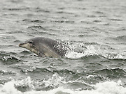 Bottle-nosed dolphin, Tursiops truncatus, surfacing, Moray Firth, Inverness-shire, Highland.<br /> coastal; coast; sea; single; one; alone; lone; surface; <br /> animal; animals; mammal; mammals; cetacean; cetaceans;<br /> grey; gray; bright; wave; waves; wildlife; nature;