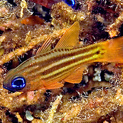 Splitband Cardinalfish shelter in branching corals or recesses in reef. Picture taken Russell Islands, Solomon Islands.
