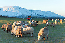 © Licensed to London News Pictures. 16/02/2016. Hay Bluff - Brecon Beacons National Park, Powys, Wales, UK. The peak Twmpa is seen covered in snow as sheep eat feed brought by the farmer at sunrise at Hay Bluff - near Hay-on-Wye - in the Eastern sector of the Brecon Beacons (The Black Mountains) in Powys, Wales, UK. Snow which fell a week ago still lies on the summits of the Brecon Beacons. Temperatures this morning are several degrees centigrade below zero but with the moderate wind the 'feels like' temperature is around minus 5 - 8 degrees centigrade. Photo credit: Graham M. Lawrence/LNP