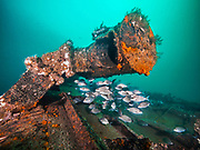 School of tropical fish on Papoose shipwreck in North Carolina, USA