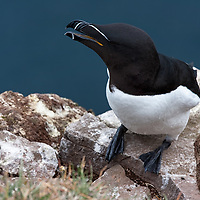 """According to """"Wikipedia"""" - The Razorbill (Alca torda) is a colonial seabird that will only come to land in order to breed. It is the largest living member of the Auk family. This agile bird will choose only one partner for life and females will lay one egg per year. Razorbills will nest along coastal cliffs in enclosed or slightly exposed crevices. Both parents will spend equal amount of time incubating. Once the chick has hatched, the parents will take turns foraging for their young and will sometimes fly long distances before finding prey."""