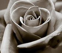 Lori's Rose - part of a matched set