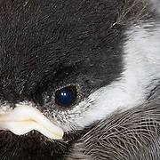 Black-capped chickadee (Parus atricapillus) Close up of young chick. Montana.