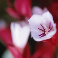 Fiji Islands, botanical, Tagimoucia Blossom, medinilla waterhousei, no where in the world but on Taveuni Island