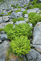 Athyrium americanum (Butters) Maxon, alpine ladyfern amidst boulders in the North Cascades Washington USA