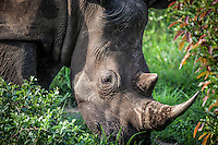 White Rhino in Kruger National Park, South Africa.
