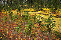 Autumn colors a meadow with young Subalpine Fir (Abies Lasiocarpa) in the Indian Heaven Wilderness -Gifford Pinchot National Forest, Cascade Mountain Range, Washington state, USA