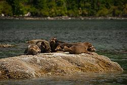 Harbor Seals (Phoca vitulina), Hotham Sound, Sunshine Coast, British Columbia, Canada