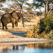 An adult elephant with very long tusks next to a watering hole in the late afternoon sun at Tarangire National Park in northern Tanzania not far from Ngorongoro Crater and the Serengeti.