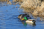 Mallard drakes swimming