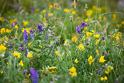 Tufted Vetch with Meadow Vetchling in the Burren. Vicia cracca, Lathyrus pratensis