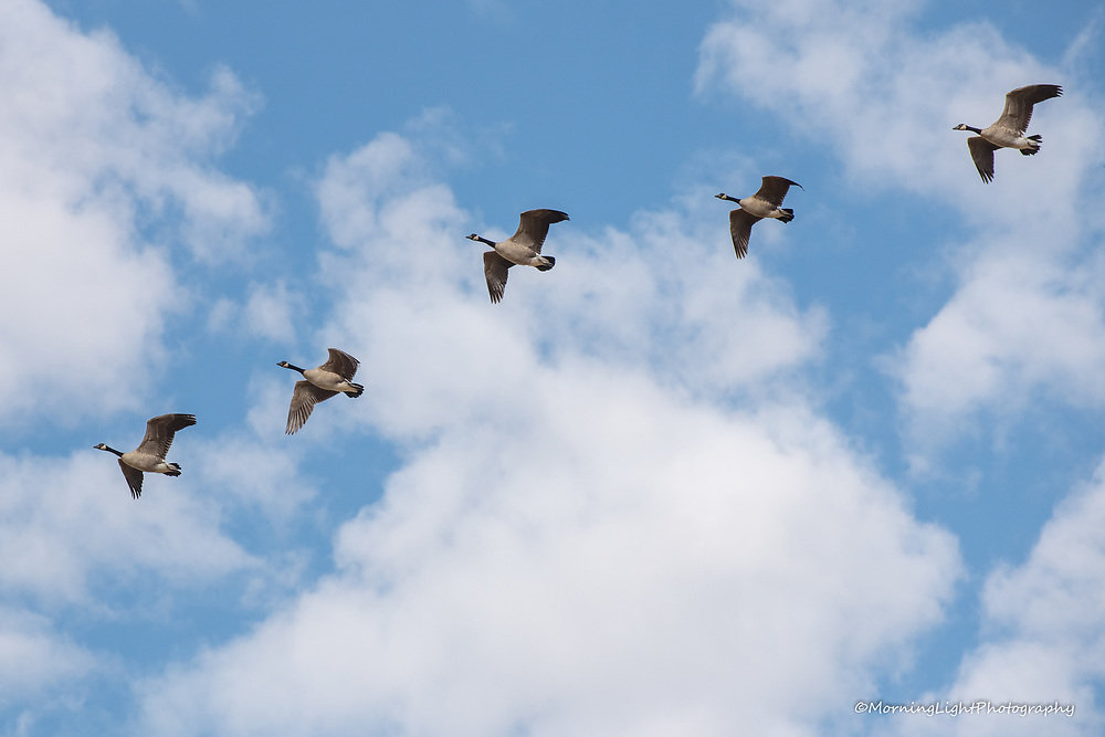 Canadian Geese in Flight Formation
