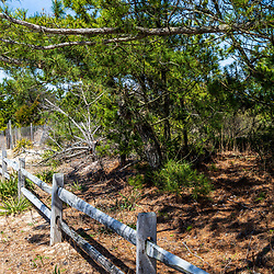 Rehoboth Beach, DE, USA - April 18, 2015: Scrub pine trees at Delaware state park beach on Atlantic Ocean.