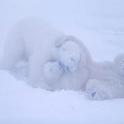 Two male polar bear cubs play-fighting. Churchill, Manitoba, Canada