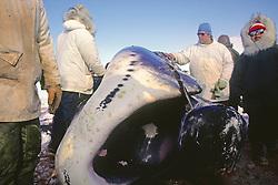 Bowhead Whale's Mouth