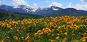 Arrow Leaf Balsam Root wildflowers in front of the North fork of Fall Creek Highland Bowls of the Snake River Range in western Wyoming.