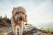 Fluffy mutt with an intense stare on Cobble Ledge in Wilmington NY