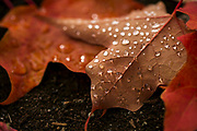 Dew collects on maple leaves at Gene Coulon Memorial Beach Park in Renton. (Bettina Hansen / The Seattle Times)