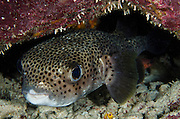 Porcupine Fish (Diodon hystrix)<br /> BONAIRE, Netherlands Antilles, Caribbean<br /> HABITAT & DISTRIBUTION: In or near caves openings or recesses or on sea grass.<br /> Florida, Bahamas, Caribbean, Gulf of Mexico, north to Massachusetts, Bermuda & south to Brazil.