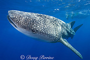 whale shark ( Rhincodon typus ) with one remora in spiracle and another next to it, Kona Coast of Hawaii Island<br /> ( the Big Island ) Hawaiian Islands, USA ( Central Pacific Ocean )