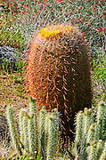 Barrel cactus and cholla in Plum Canyon, Anza-Borrego Desert State Park, California USA