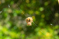 """The cat-faced spider is a small member of the orb weaver family that rarely exceeds a centimeter in length and is harmless to humans. There are two """"horns"""" on the abdomen that if looked at the right way, appear to be shaped like cats' ears with two small dimples exactly where you would expect to see the cat's eyes. Common in the Western United Staes and Canada, these spiders breed in the summer, lay an egg sac in the fall, and the spiderlings hatch and disperse in the wind via """"web parachutes"""" in the spring to start the life cycle all over again."""