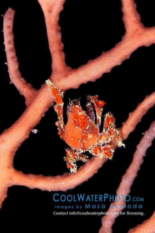 cryptic teardrop crab, Pelia mutica, on octocoral, feeding on plankton at night, Key Largo, Florida Keys National Marine Sanctuary, Atlantic Ocean