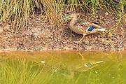 Mallard (Anas platyrhynchos) near water. Photographed in Israel, in February