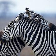 Burchell's Zebra, (Equus burchelli) Pair resting together. Kenya. Africa.