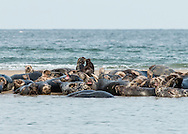 Gray seals hauled out at High Head in Truro.