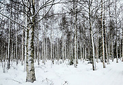 Lapland, Scandinavia, snow covered trees in a forest